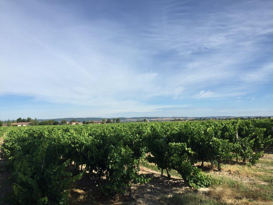 Le vignoble de Gaillac s'inscrit comme l'un des plus anciens. La vigne, importée par les phéniciens quatre siècles avant JC, trouve ici des conditions climatiques idéales pour se développer.